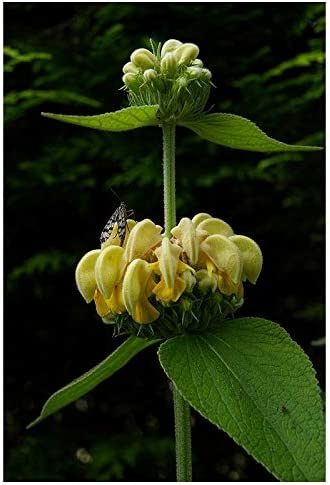 Phlomis russeliana Turkish Sage Sent in 9cm pots 3