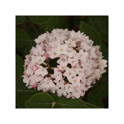 Viburnum-Spice-Baby - QT Pot (Shrub) : Garden & Outdoor