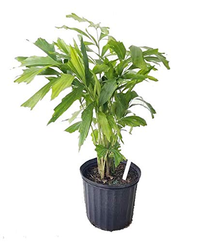 PlantVine Caryota mitis, Fishtail Palm - Large - 8-10 Inch Pot (3 Gallon), Live Plant - 4 Pack by PlantVine (Image #1)