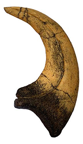 Deinonychus-Raptor-Dinosaur-Claw-Replica-Museum-Quality-Cast-Fossil-Specimen