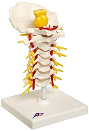 3B Scientific A72 Cervical Spinal Column Model with Stand, 7.5 ...