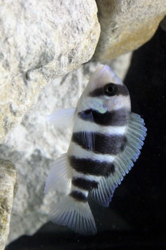 Cichlid Fish - A Frontosa African Cichlid in an Aquarium Journal: Take Notes, Write Down Memories in this 150 Page Lined Journal