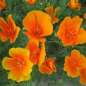 Poppy - California