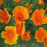 Outsidepride California Poppy Seed - 1 LB