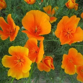 Amazon outsidepride california poppy seed 1 lb garden outdoor outsidepride california poppy seed 1 lb mightylinksfo