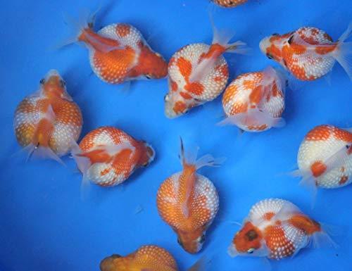 Live Pearlscale Goldfish Sm. for Fish Tank Koi Pond or Aquarium