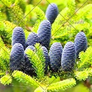 Green Seeds Co. 50 unids/bolsa abeto coreano, planta de árbol de abeto macetas planta jardín de la familia DIY planta rara para la plantación de jardín de su casa: 7: Amazon.es: Jardín
