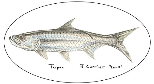 Tarpon Decal - Designed by Jeff Currier - Perfect Fishing Gift - Buy 2 Get 1 Free Promotion (Decal Tarpon)
