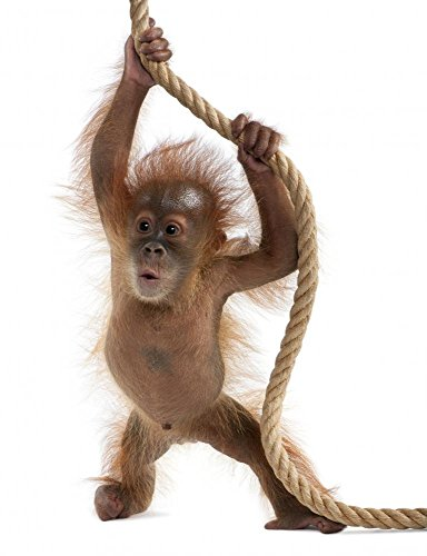 Wallmonkeys Baby Sumatran Orangutan Hanging on Rope Peel and Stick Wall Decals WM246147 (24 in H x 18 in W)