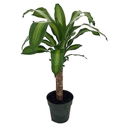 Creme & Green Corn Plant - Dracaena - 6