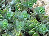 Crassula perforata (Necklace Vine) succulent plant 6cm