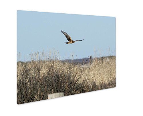 Ashley Giclee Metal Panel Print, Female Northern Harrier Flying Low Over Beach, Wall Art Decor, Floating Frame, Ready to Hang 16x20, AG6010345 20 Westport 1 Light