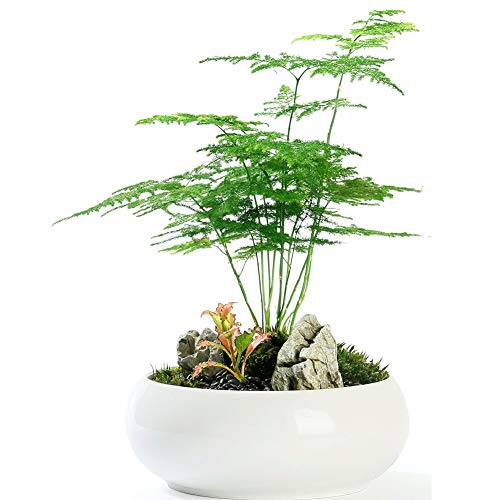 Fern Leaf Plumosus Asparagus Fern Seeds 6+ Easy to Grow Great Houseplant