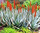 Rare Aloe PETRICOLA Exotic Stone Succulent Agave Hardy Plant Yard Seed 10 Seeds