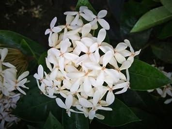 Amazon odorata white ixora tropical plant shrub bush rare odorata white ixora tropical plant shrub bush rare flower fragrant mightylinksfo