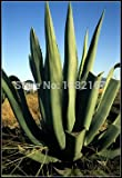 Tequila seed 20pcs Agave tequilana TEQUILA AGAVE Exotic SEEDS Succulent Plants for home plant