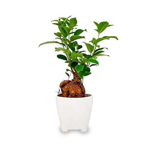 """Ficus Ginseng Bonsai Tree Plant Live Indoor Houseplant in a 4"""" White Ceramic Pot Planter 