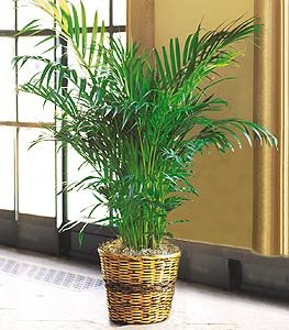 Seeds And Things Parlor Palm 20 Seeds   Chamaedorea