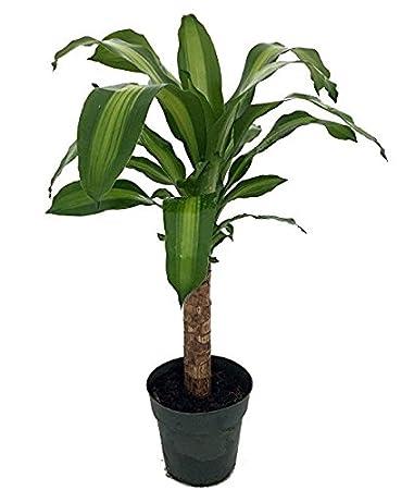 Amazon.com : Creme & Green Corn Plant - Dracaena - 6