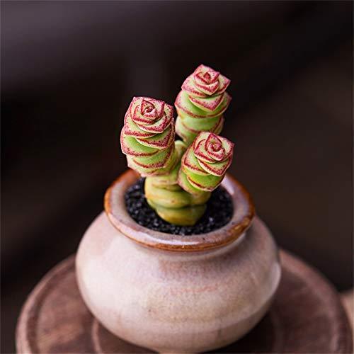 (Live Succulent Lithops Cactus Plant | Crassula 'Jade Necklace')