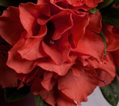 Autumn Embers Encore Azalea - Live Plant - Full gallon Pot by New Life Nursery & Garden
