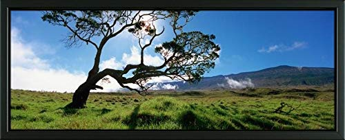 Easy Art Prints Panoramic Images's 'Koa Tree On A Landscape, Mauna Kea, Big Island, Hawaii, USA' Premium Framed Canvas Art - 32