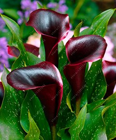 True Good quality calla lily bulbs, (not calla lily seed),balcony bonsai flower bulbs, Pure and noble plant pot - 2 pcs 11 by SVI