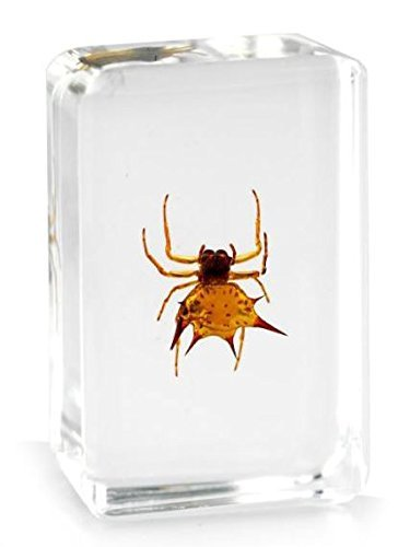 Real Spiny Orb-weaver Spider Insect Paperweight Specimen Taxidermy - Small Block by Real Nature