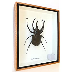 3 Horned Beetle Mounted Real Horns Beetles Bug Insects Taxidermy Entomology Wings Display Box