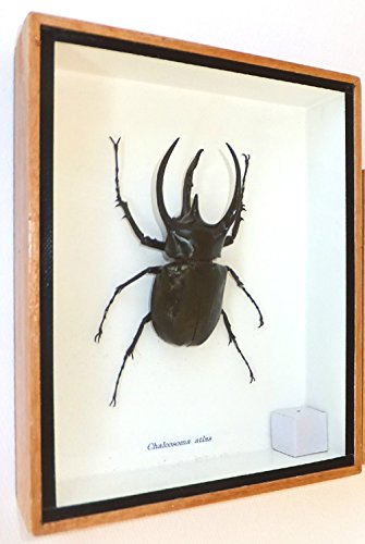 Beetle Magazine (3 Horned Beetle Mounted Real Horns Beetles Bug Insects Taxidermy Entomology Wings Display)