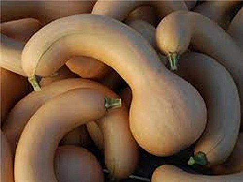 squash-crooked-neck-squash-seed-organic-non-gmo-200-seeds-per-package