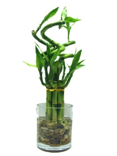 (Betterdecor- 1 Set of Lucky Bamboo Arrangement (11 Stalks) in a Glass Vase for Gift and Feng Shui)