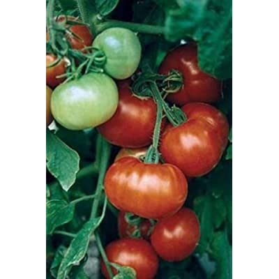 SUPER FANTASTIC F1 TOMATO 30 SEEDS LARGE YIELDS JUICY, MEATY & FLAVORFUL FRUITS : Garden & Outdoor