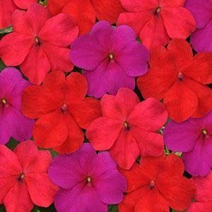 Outsidepride Impatiens Intense Mix Seeds