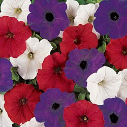 spreading red white and blue petunia seeds my secret gardens