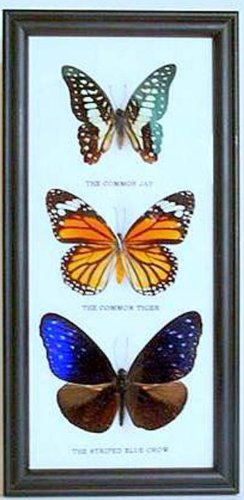 3 Colorful Assorted Mix type Butterfly,Hanging Frame,A1 Insect Gift
