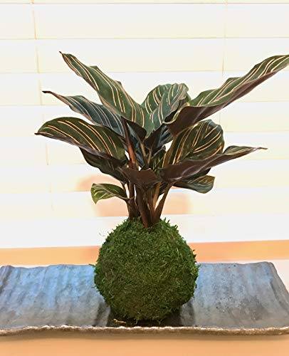 (Pin striped prayer plant Kokedama Moss Ball Comes with Black Square Saucer. Low Light Tolerant Plant.)