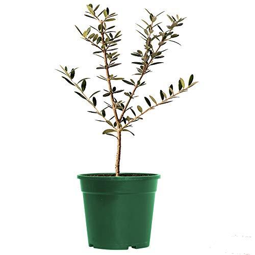 AMERICAN PLANT EXCHANGE Arbequina Olive Tree Live Plant, 6