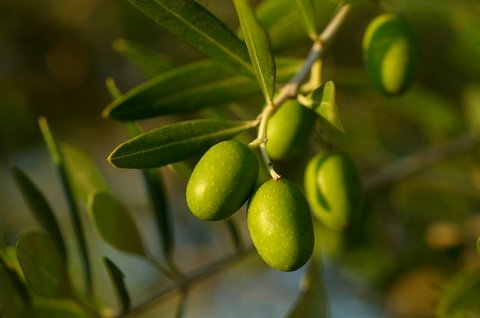 Mission Olive Tree Live Plant Cold Hardy 1-2 Feet Tall Cannot ship TO CA, AZ, AK, HI, OR or WA PER YOUR STATE LAWS