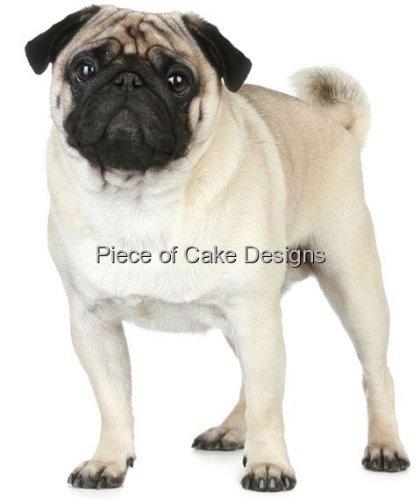 Pug Dog Breeds - 3