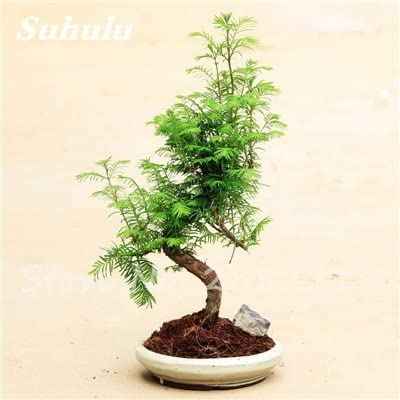 6 30 Pcs Coast Redwood Seeds Sequoia Sempervirens Bonsai Tree Potted Plants For Home Garden Fresh The Air Diy Home Garden 6 Buy Online At Best Price In Uae Amazon Ae