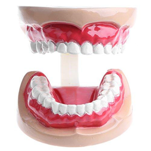 B Blesiya 人間口腔モデル 子どもの歯 歯模型 医学研究 生物教育ツール 2倍拡大 PVC製