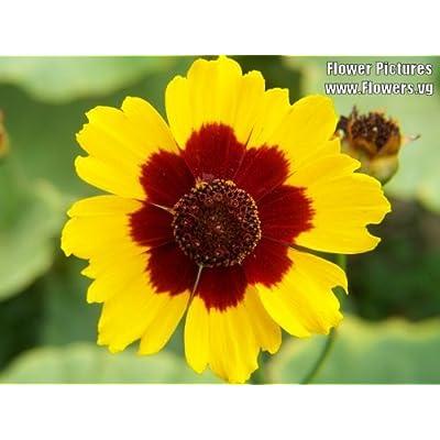1000 PLAINS COREOPSIS (Golden Tickseed) Coreopsis Tinctoria Flower Seeds : Garden & Outdoor