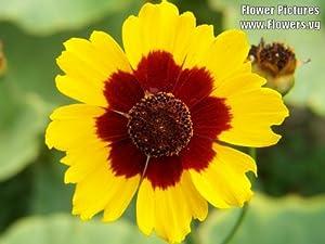 Amazon.com : 1000 PLAINS COREOPSIS (Golden Tickseed) Coreopsis ...