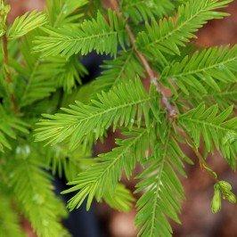 Green Whisper Baldcypress> Taxodium distichum 'JFS-SGPN'> Landscape Ready 5 gallon Container