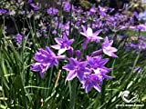 New Tulbaghia violacea - garlic, SOCIETY GARLIC, perennial flower, EDIBLE, 15 seeds!