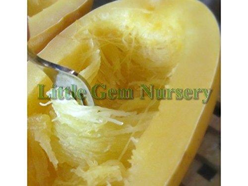 Non GMO Spaghetti Squash Seed - Heirloom Spaghetti Squash Seeds 2g Packet (20 seeds) - Little Gem Nursery & Supply