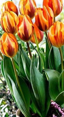 10 Quality Tulip Bulbs - Princess Irene (Orange) - Freshly Imported from Holland