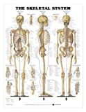 Human Skeletal System Chart Professional