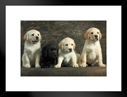 - Poster Foundry Togetherness Labrador Retriever Puppies Photo Art Print Matted Framed Wall Art 26x20 inch